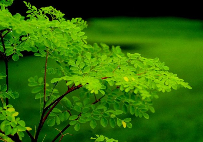 Meet moringa, the most amazing superfood